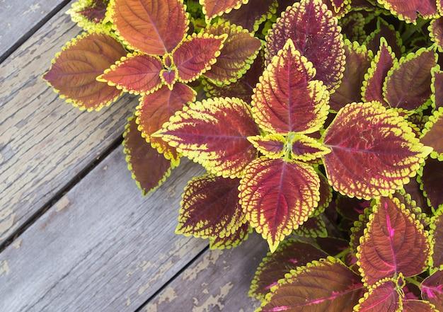 Flores de natal, poinsettias com folhas verdes e rosa para o fundo na velha mesa de madeira
