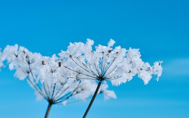 Flores de neve cristalinas contra o céu azul. maravilha do inverno dos cristais de geada da natureza.