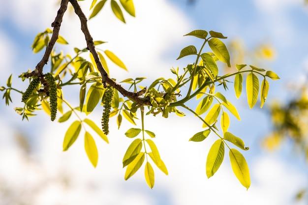 Flores de noz. botões verdes de noz no galho de árvore no fundo desfocado.