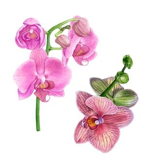 Flores de orquídea rosa aquarela.
