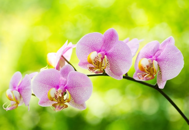 Flores de orquídea rosa
