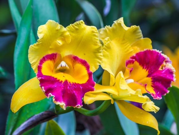 Flores de orquídea roxas e amarelas