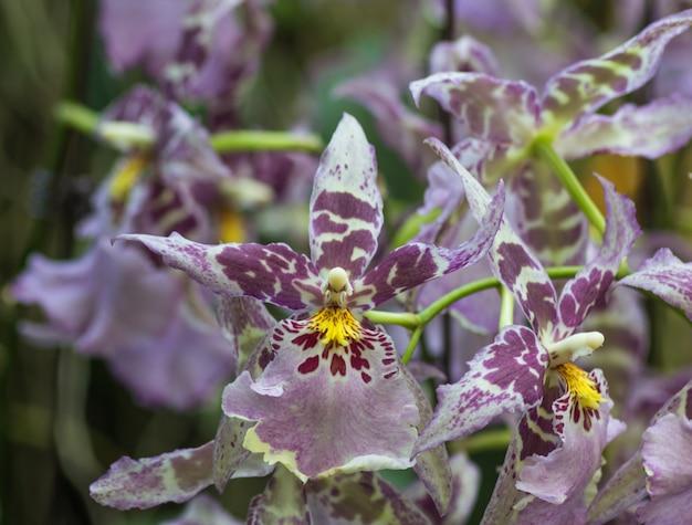 Flores de orquídea roxas escuras