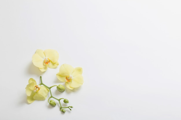 Flores de orquídeas amarelas sobre fundo branco