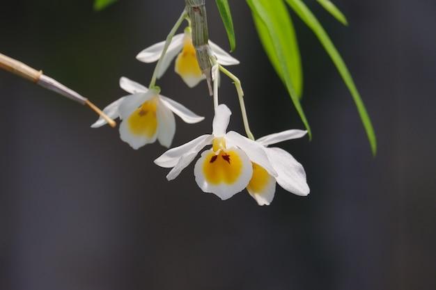 Flores de orquídeas dendrobium bensoniae de perto na natureza lindas orquídeas brancas no jardim botânico