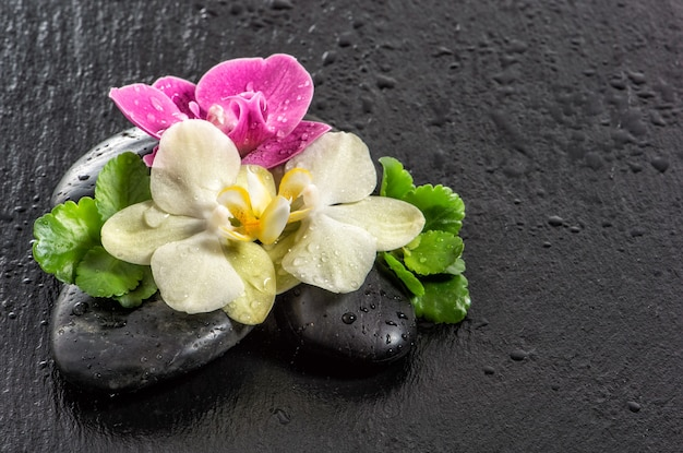 Flores de orquídeas frescas com gotas de água e pedras pretas em fundo preto