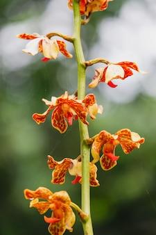 Flores de orquídeas vandopsis lissochiloides de perto na natureza lindas orquídeas brancas no jardim botânico