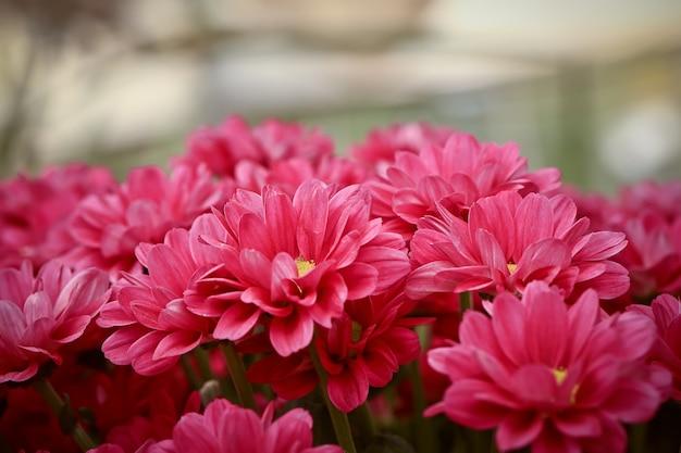 Flores de outono rosa crisântemos. foco seletivo suave