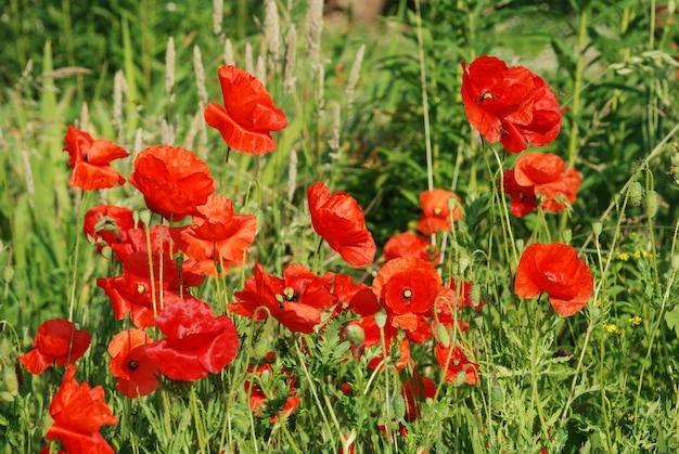 Flores de papoilas comuns