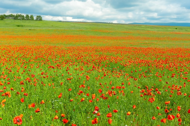 Flores de papoula vermelhas em um fundo de campo