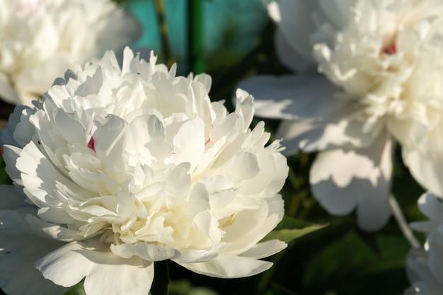 Flores de peônia branca