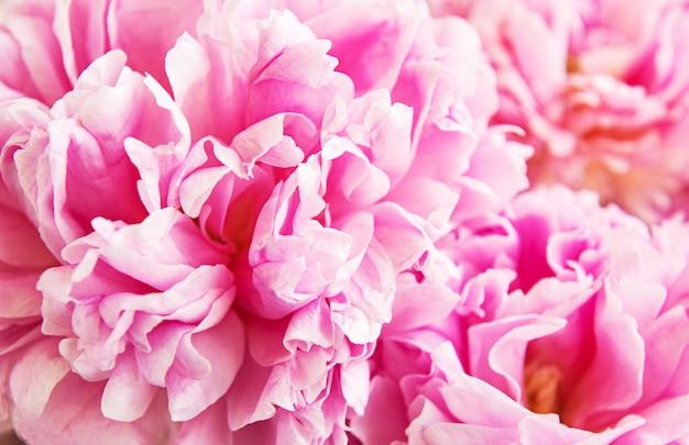 Flores de peônia como pano de fundo