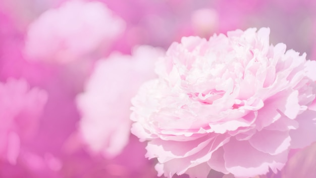 Flores de peônia na luz rosa suave