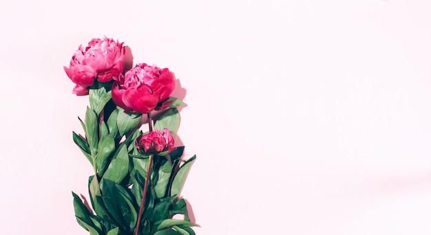 Flores de peônia rosa linda com sombra dura no fundo pastel