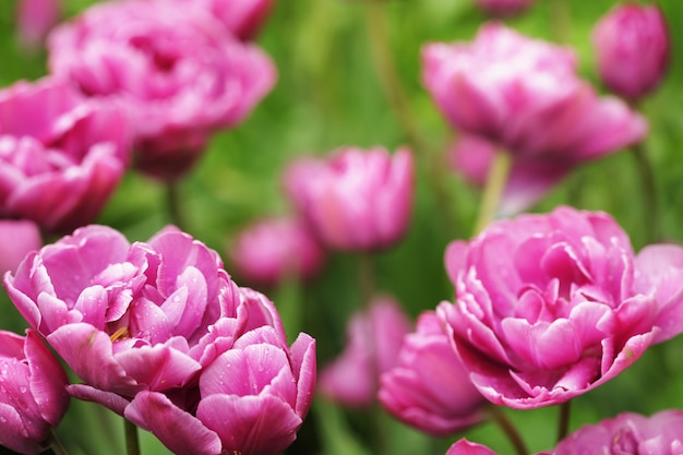 Flores de peônia rosa linda em plena floração