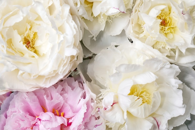 Flores de peônias rosa e branco