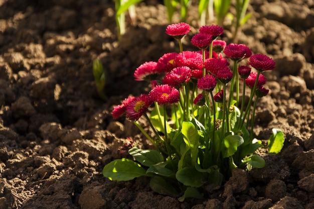 Flores de perennis bellis vermelho ao sol