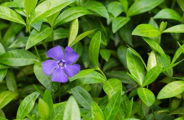 Flores de pervinca azul em folhagem verde 2