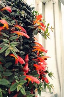 Flores de pétalas laranja penduradas planta closeup