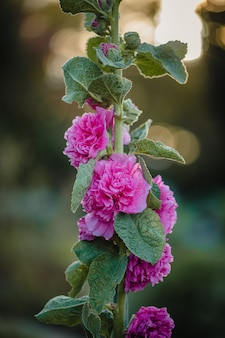 Flores de pétalas rosa