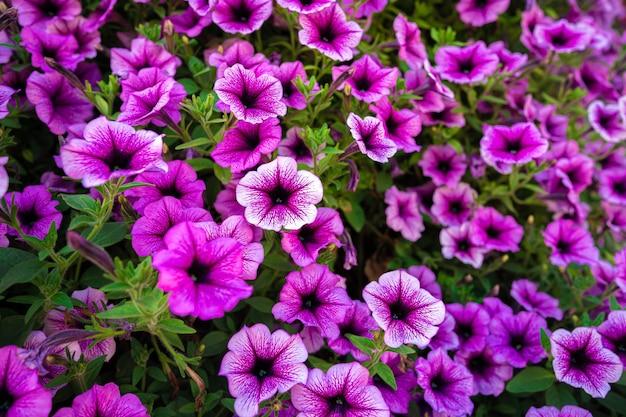 Flores de petúnia rosa brilhante para o fundo