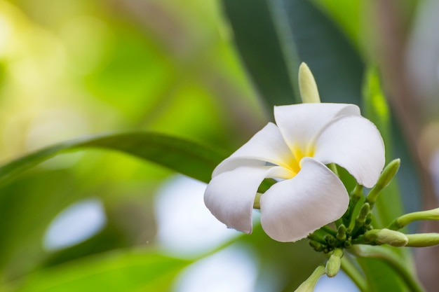 Flores de plumeria brancas lindas