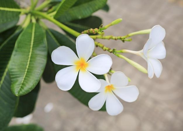 Flores de plumeria closeup.