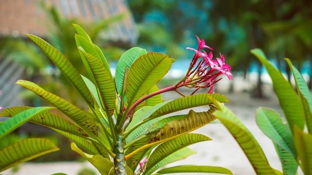 Flores de plumeria de frangipani em dia ensolarado, palmeiras e mar, koh lipe, tailândia