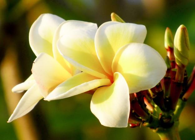 Flores de plumeria florescem graciosamente.