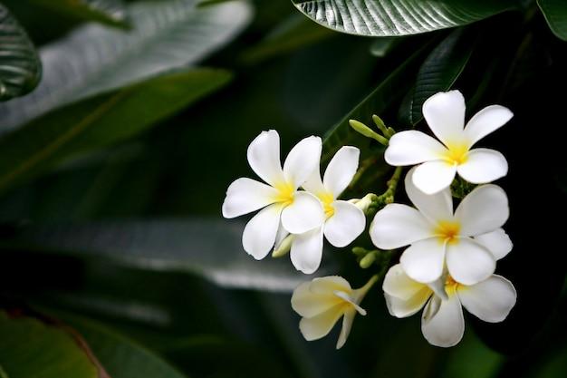 Flores de plumeria na árvore, close-up