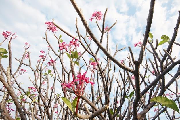 Flores de plumeria rosa ramo com o céu no jardim