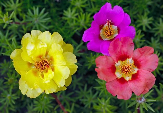 Flores de portulaca oleracea fotografadas close-up. vegetação ornamental no jardim.