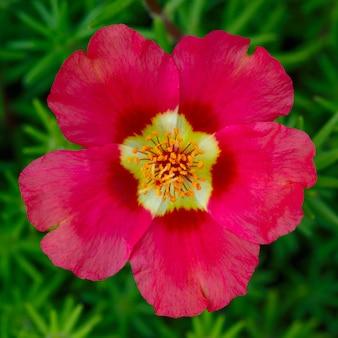 Flores de portulaca oleracea fotografadas de perto