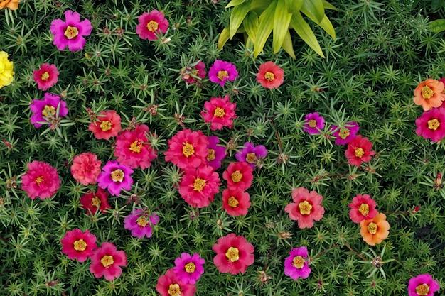 Flores de portulaca oleracea fotografadas em close-up