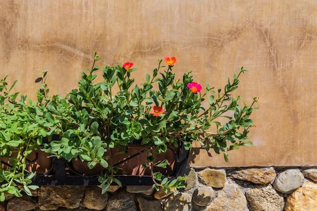 Flores de portulaca (rosemoss)