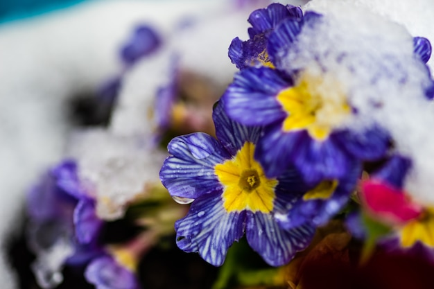 Flores de prímula azul