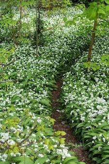 Flores de ramsons ou alho selvagem (allium ursinum) em cardiff