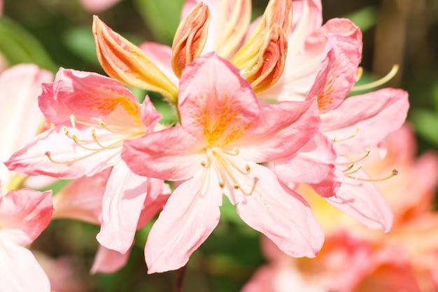 Flores de rododendro (azálea) de várias cores no jardim primavera