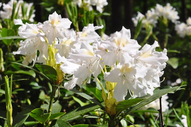 Flores de rododendro branco desabrocham no parque. flor de azaléia branca florescendo na primavera