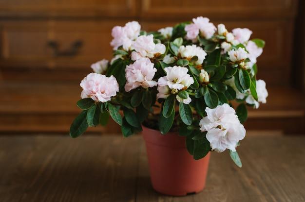 Flores de rododendro em uma panela