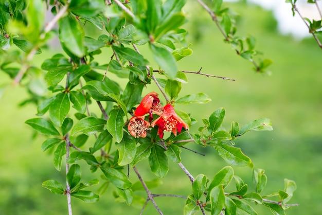 Flores de romã e folhas verdes no fundo da natureza