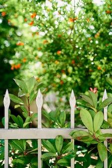 Flores de romã vermelha desabrochando atrás de uma cerca de metal