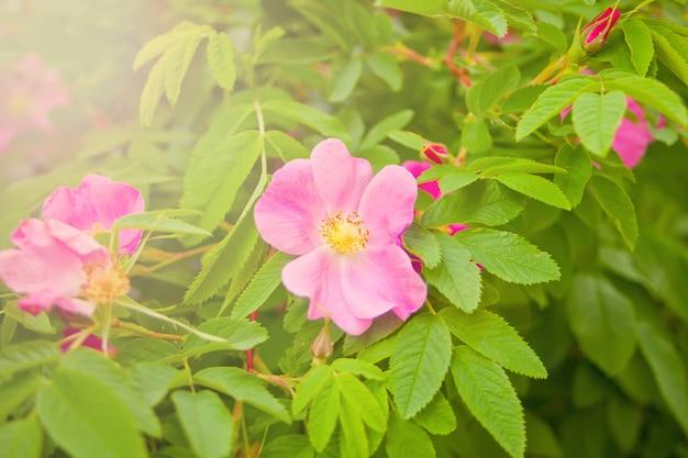 Flores de rosa mosqueta rosa cão crescendo na natureza