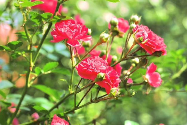 Flores de rosas de escalada