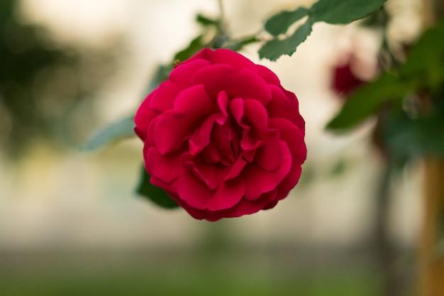 Flores de rosas em branco para banner de pôster de cartão postal