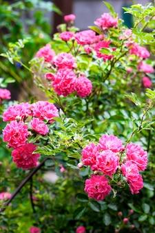 Flores de rosas rosa escalada closeup