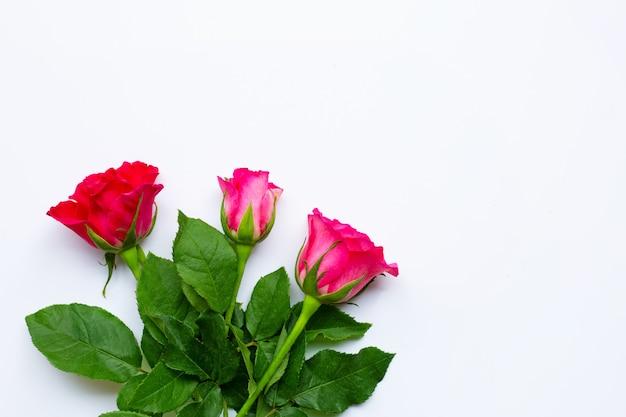 Flores de rosas sobre fundo branco.