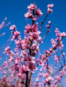 Flores de sakura desabrochando na tailândia