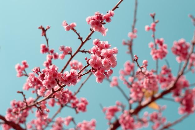 Flores de sakura rosa linda flor