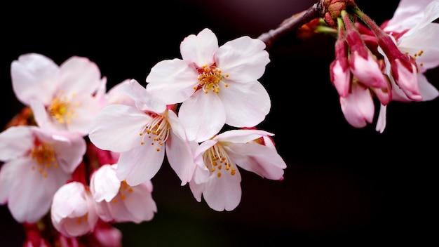 Flores de sakura rosa reais ou close-up de flor de cerejeira